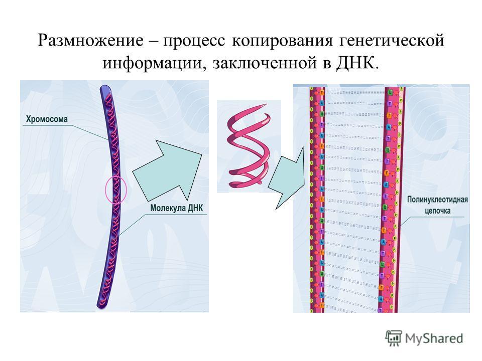 Размножение – процесс копирования генетической информации, заключенной в ДНК.