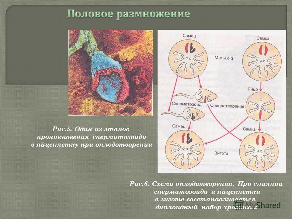 Рис.5. Один из этапов проникновения сперматозоида в яйцеклетку при оплодотворении Рис.6. Схема оплодотворения. При слиянии сперматозоида и яйцеклетки в зиготе восстанавливается диплоидный набор хромосом
