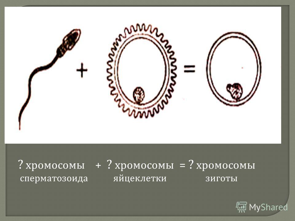 ? хромосомы + ? хромосомы = ? хромосомы сперматозоида яйцеклетки зиготы