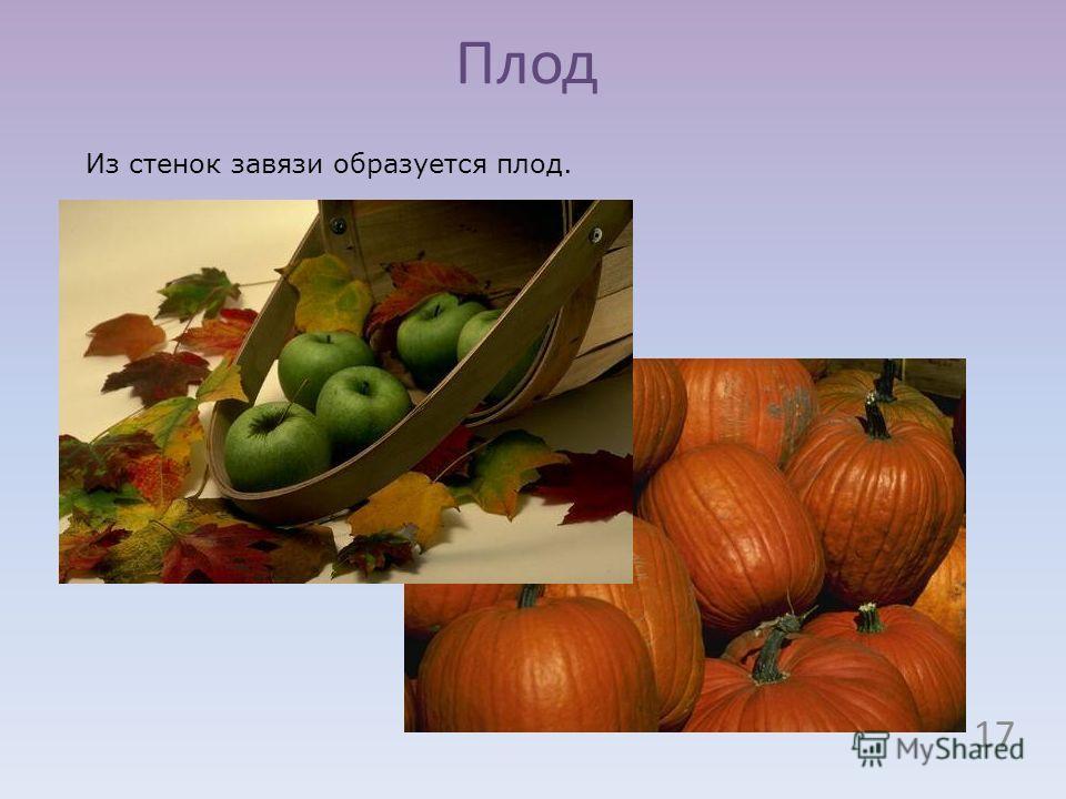 Плод Из стенок завязи образуется плод. 17