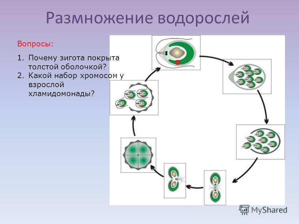 Размножение водорослей 1.