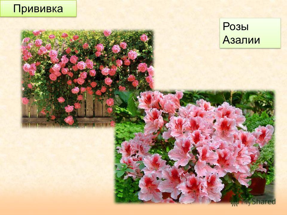 Прививка Розы Азалии Розы Азалии
