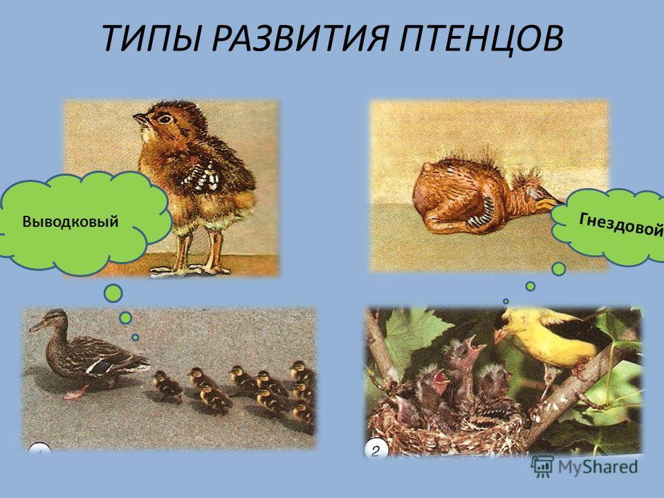 ТИПЫ РАЗВИТИЯ ПТЕНЦОВ Гнездовой Выводковый