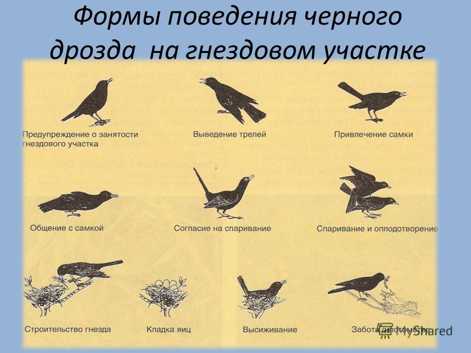 Формы поведения черного дрозда на гнездовом участке