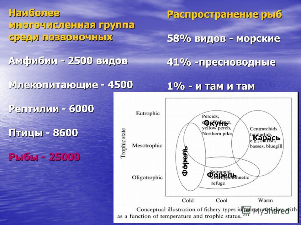 Наиболее многочисленная группа среди позвоночных Амфибии - 2500 видов Млекопитающие - 4500 Рептилии - 6000 Птицы - 8600 Рыбы - 25000 Распространение рыб 58% видов - морские 41% -пресноводные 1% - и там и там Окунь Карась Форель