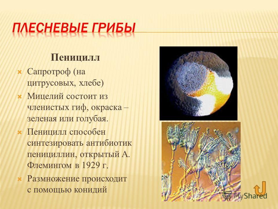 Пеницилл Сапротроф (на цитрусовых, хлебе) Мицелий состоит из членистых гиф, окраска – зеленая или голубая. Пеницилл способен синтезировать антибиотик пенициллин, открытый А. Флемингом в 1929 г. Размножение происходит с помощью конидий