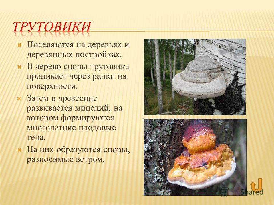 Поселяются на деревьях и деревянных постройках. В дерево споры трутовика проникает через ранки на поверхности. Затем в древесине развивается мицелий, на котором формируются многолетние плодовые тела. На них образуются споры, разносимые ветром.
