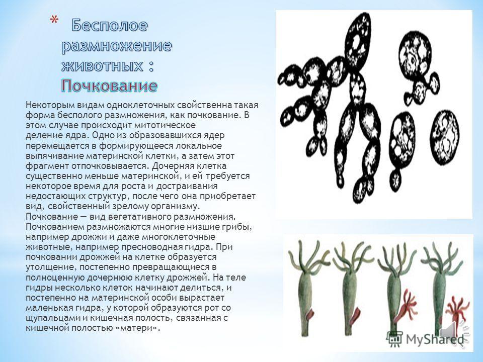 * В бесполом размножении участвует только один родительский организм, из которого образуется два или (или более) новых, идентичных, т.е. похожих друг на друга организма. Бесполое размножение происходит без образования половых клеток и последующего их