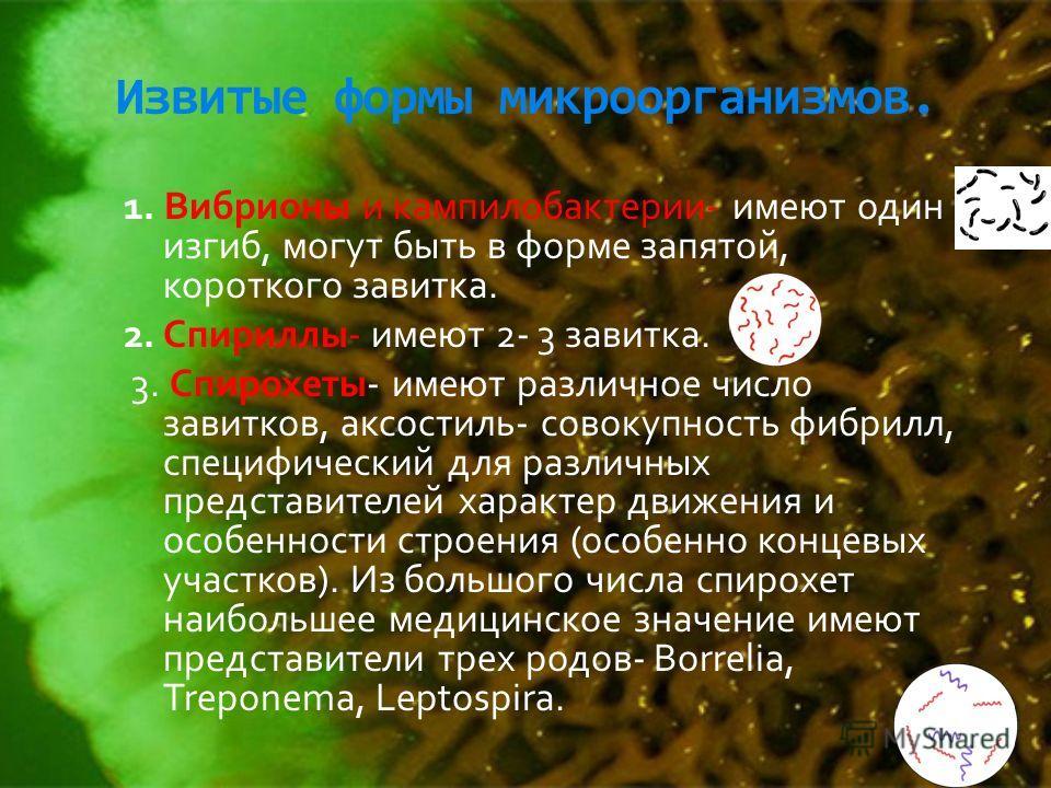 Извитые формы микроорганизмов. 1. Вибрионы и кампилобактерии- имеют один изгиб, могут быть в форме запятой, короткого завитка. 2. Спириллы- имеют 2- 3 завитка. 3. Спирохеты- имеют различное число завитков, аксостиль- совокупность фибрилл, специфическ