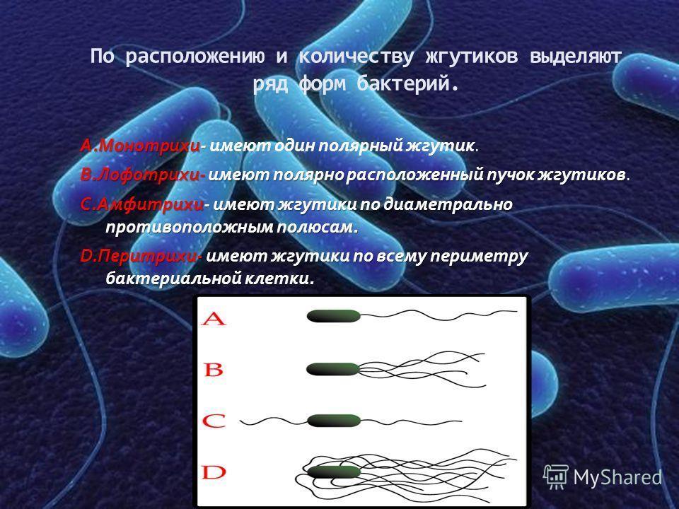 По расположению и количеству жгутиков выделяют ряд форм бактерий. А.Монотрихи- А.Монотрихи- имеют один полярный жгутик. В.Лофотрихи-имеют полярно расположенный пучок жгутиков В.Лофотрихи- имеют полярно расположенный пучок жгутиков. С.Амфитрихи-имеют