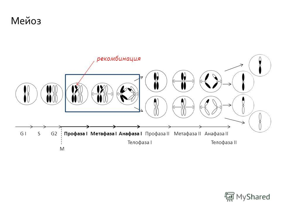 Профаза IМетафаза IАнафаза I Телофаза I Профаза II Телофаза II Метафаза IIАнафаза IIG IG ISG2 M рекомбинация Мейоз