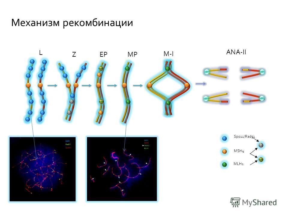 L ZEPMP M-I ANA-II Spo11/Rad51 MSH4 MLH1 Механизм рекомбинации
