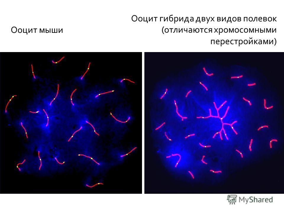 9 5 мкм Ооцит гибрида двух видов полевок (отличаются хромосомными перестройками) Ооцит мыши