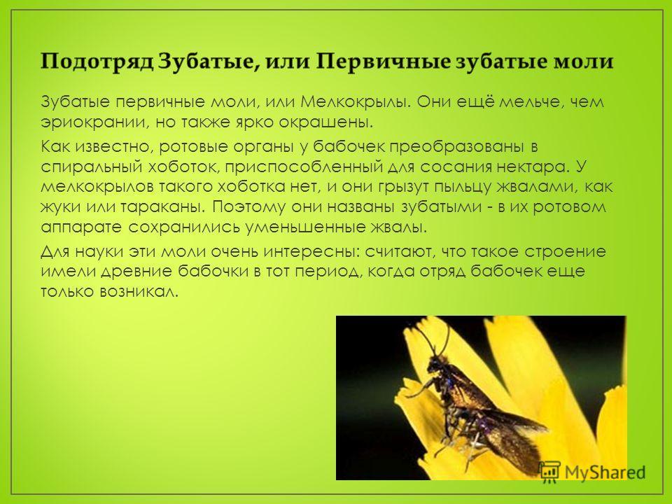 Зубатые первичные моли, или Мелкокрылы. Они ещё мельче, чем эриокрании, но также ярко окрашены. Как известно, ротовые органы у бабочек преобразованы в спиральный хоботок, приспособленный для сосания нектара. У мелкокрылов такого хоботка нет, и они гр