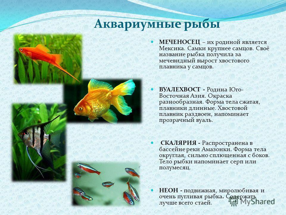 Аквариумные рыбы МЕЧЕНОСЕЦ – их родиной является Мексика. Самки крупнее самцов. Своё название рыбка получила за мечевидный вырост хвостового плавника у самцов. ВУАЛЕХВОСТ - Родина Юго- Восточная Азия. Окраска разнообразная. Форма тела сжатая, плавник