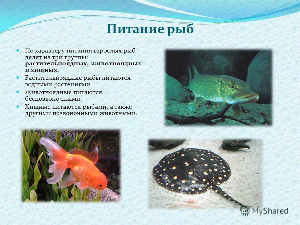 Питание рыб По характеру питания взрослых рыб делят на три группы: растительноядных, животноядных и хищных. Растительноядные рыбы питаются водными растениями. Животноядные питаются беспозвоночными. Хищные питаются рыбами, а также другими позвоночными