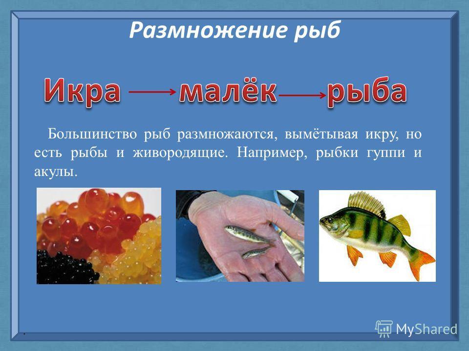 Размножение рыб Большинство рыб размножаются, вымётывая икру, но есть рыбы и живородящие. Например, рыбки гуппи и акулы..