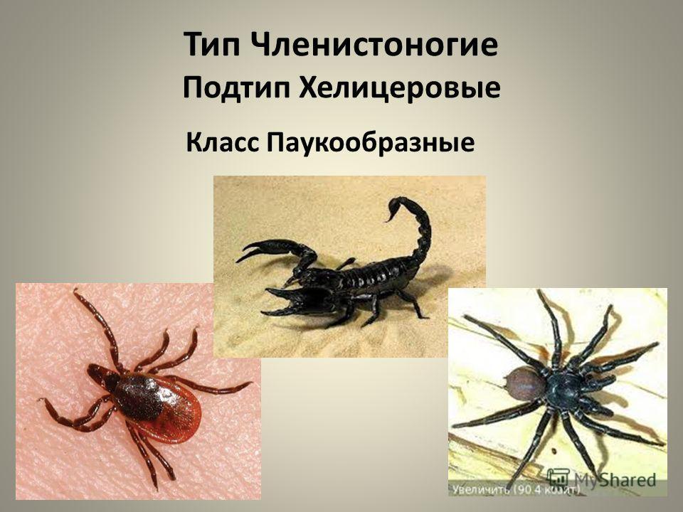 Тип Членистоногие Подтип Хелицеровые Класс Паукообразные