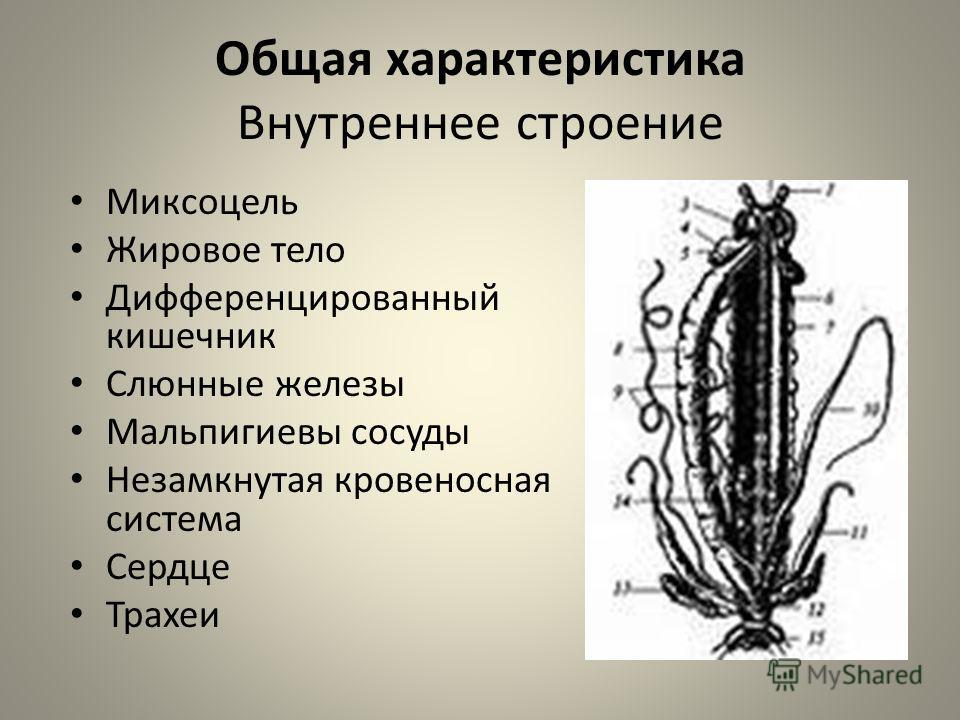 Общая характеристика Внутреннее строение Миксоцель Жировое тело Дифференцированный кишечник Слюнные железы Мальпигиевы сосуды Незамкнутая кровеносная система Сердце Трахеи