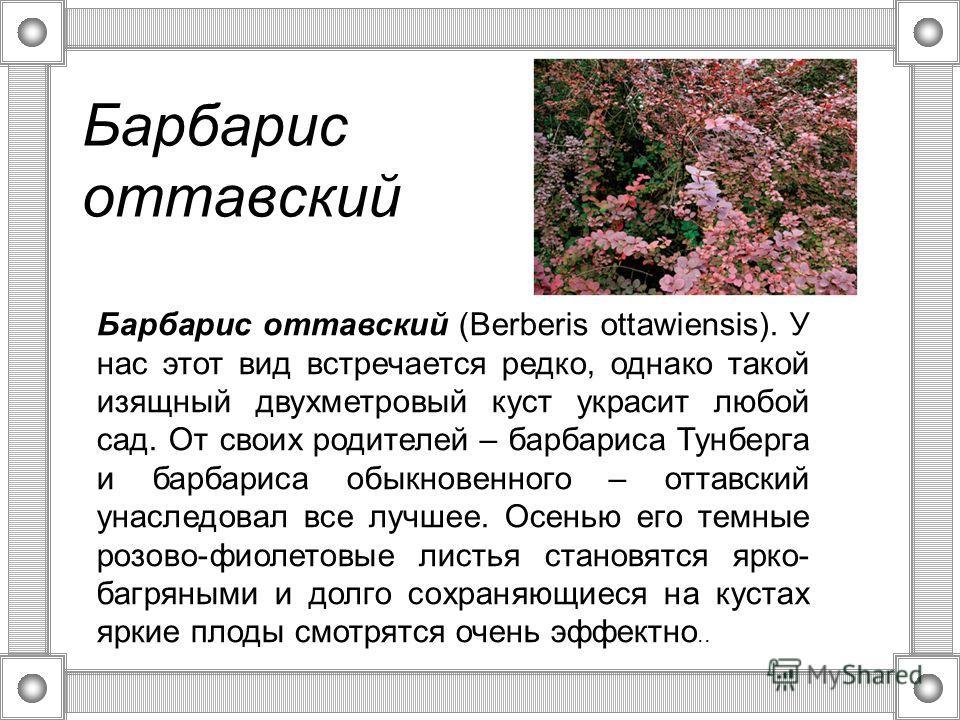 Барбарис оттавский Барбарис оттавский (Berberis ottawiensis). У нас этот вид встречается редко, однако такой изящный двухметровый куст украсит любой сад. От своих родителей – барбариса Тунберга и барбариса обыкновенного – оттавский унаследовал все лу