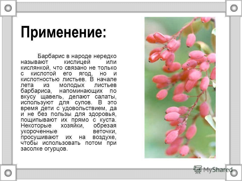 Применение: Барбарис в народе нередко называют кислицей или кислянкой, что связано не только с кислотой его ягод, но и кислотностью листьев. В начале лета из молодых листьев барбариса, напоминающих по вкусу щавель, делают салаты, используют для супов