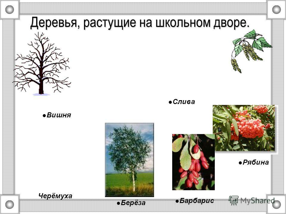Деревья, растущие на школьном дворе. Берёза Барбарис Рябина Черёмуха Слива Вишня
