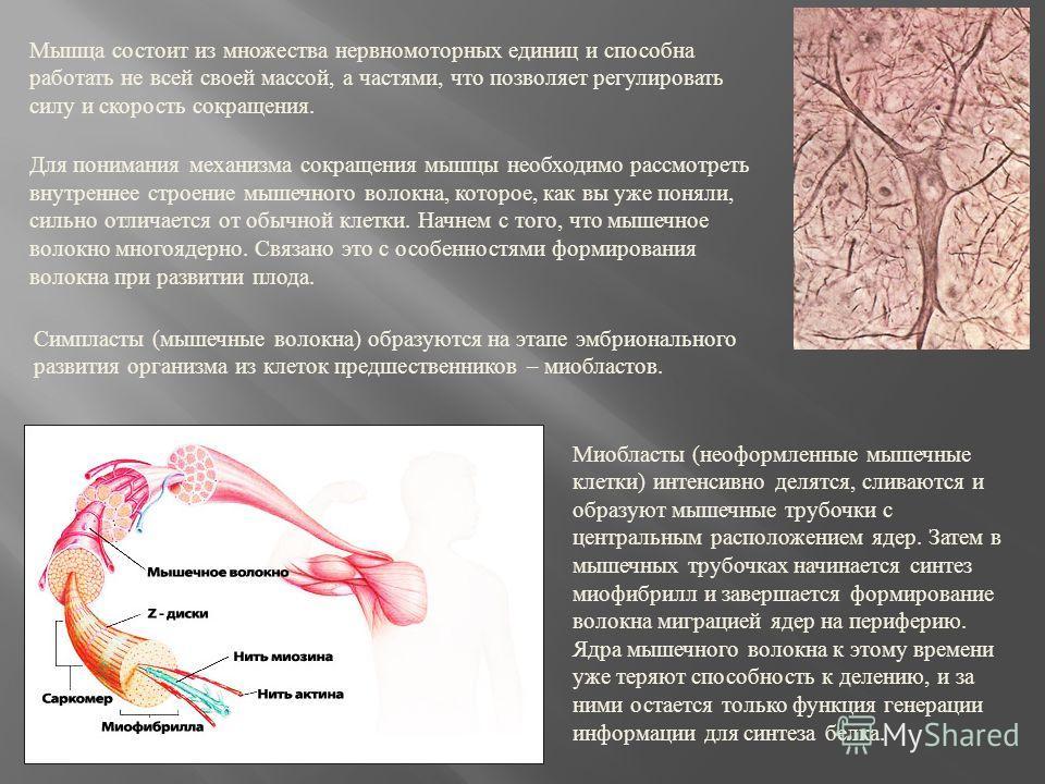 Мышца состоит из множества нервномоторных единиц и способна работать не всей своей массой, а частями, что позволяет регулировать силу и скорость сокращения. Для понимания механизма сокращения мышцы необходимо рассмотреть внутреннее строение мышечного