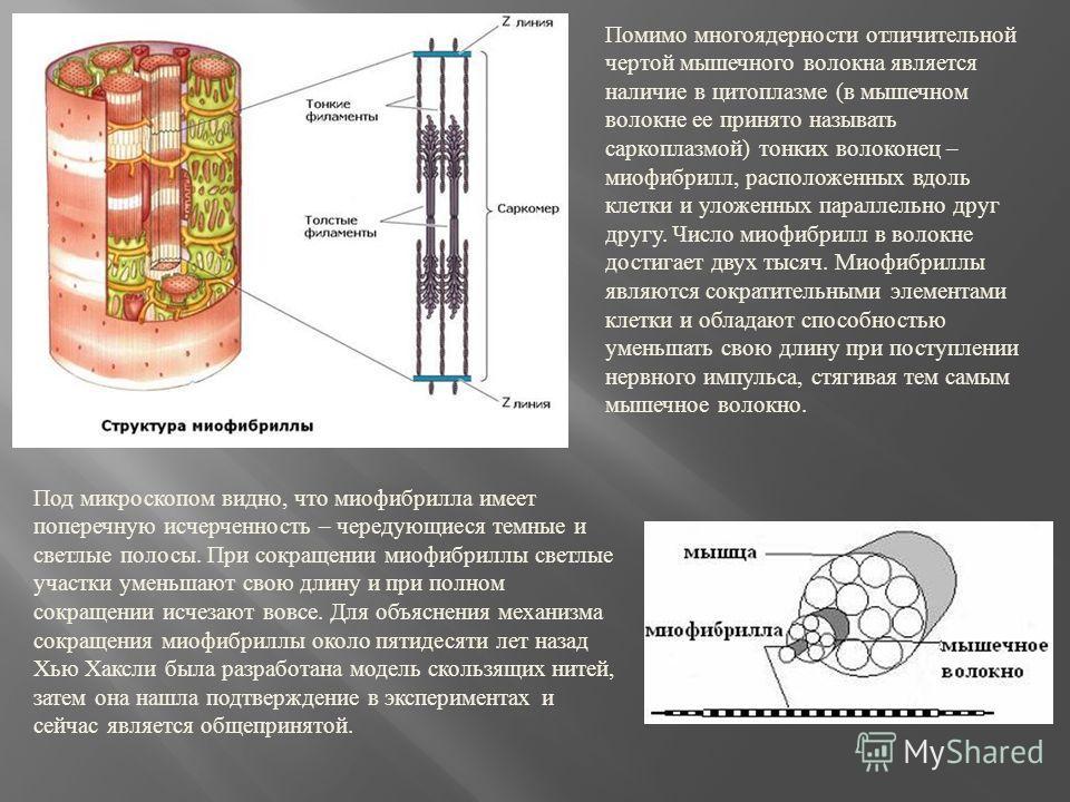 Помимо многоядерности отличительной чертой мышечного волокна является наличие в цитоплазме ( в мышечном волокне ее принято называть саркоплазмой ) тонких волоконец – миофибрилл, расположенных вдоль клетки и уложенных параллельно друг другу. Число мио