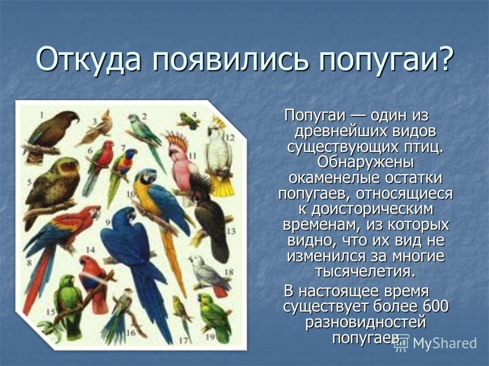 Откуда появились попугаи? Попугаи один из древнейших видов существующих птиц. Обнаружены окаменелые остатки попугаев, относящиеся к доисторическим временам, из которых видно, что их вид не изменился за многие тысячелетия. В настоящее время существует