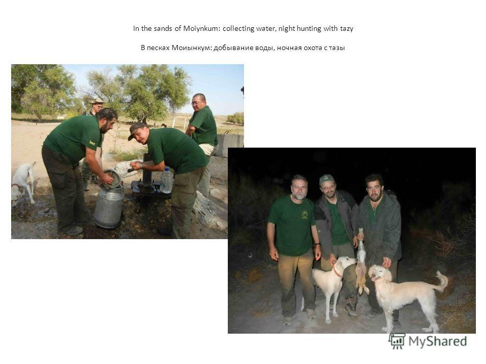 In the sands of Moiynkum: collecting water, night hunting with tazy В песках Моиынкум: добывание воды, ночная охота с тазы