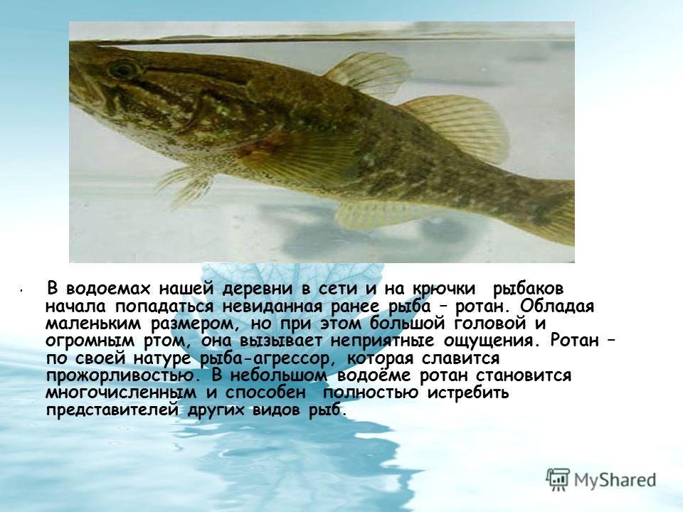 В водоемах нашей деревни в сети и на крючки рыбаков начала попадаться невиданная ранее рыба – ротан. Обладая маленьким размером, но при этом большой головой и огромным ртом, она вызывает неприятные ощущения. Ротан – по своей натуре рыба-агрессор, кот
