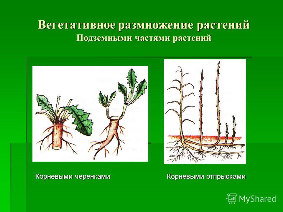 Вегетативное размножение растений Подземными частями растений Корневыми черенками Корневыми отпрысками Корневыми отпрысками