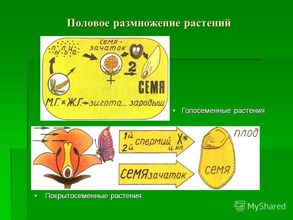 Половое размножение растений Покрытосеменные растения Покрытосеменные растения Голосеменные растения Голосеменные растения