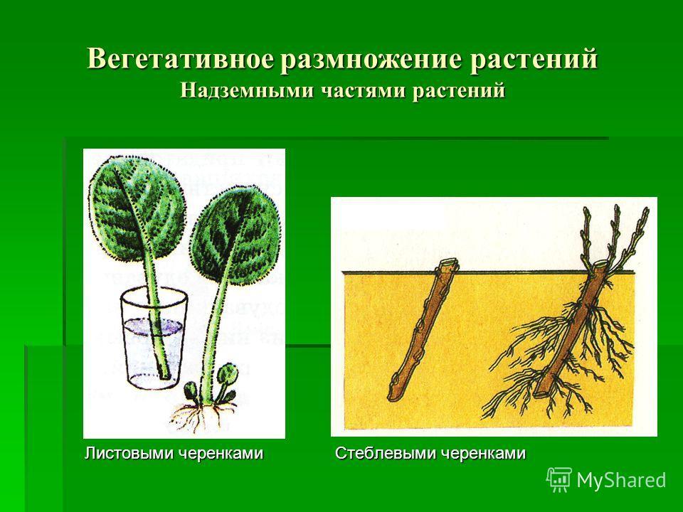 Вегетативное размножение растений Надземными частями растений Листовыми черенками Стеблевыми черенками