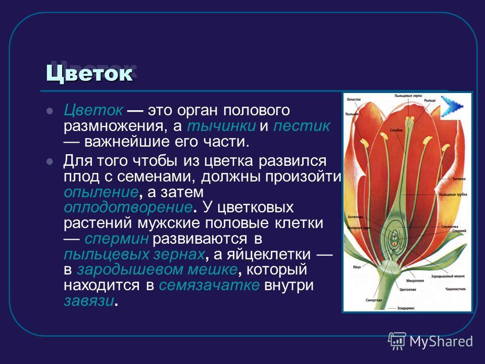 ЦветокЦветок Цветок это орган полового размножения, а тычинки и пестик важнейшие его части. Для того чтобы из цветка развился плод с семенами, должны произойти опыление, а затем оплодотворение. У цветковых растений мужские половые клетки спермин разв