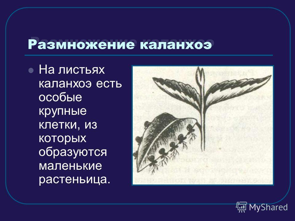 Размножение каланхоэ На листьях каланхоэ есть особые крупные клетки, из которых образуются маленькие растеньица.