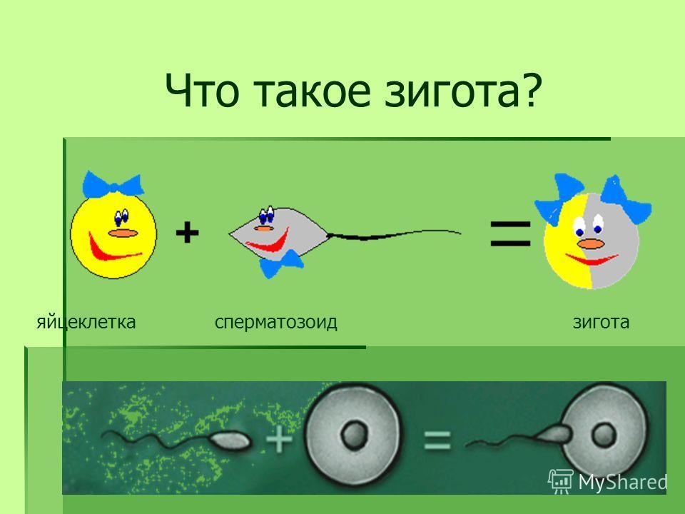 яйцеклеткасперматозоидзигота Что такое зигота?