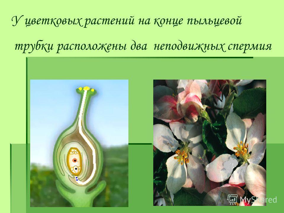 У цветковых растений на конце пыльцевой трубки расположены два неподвижных спермия