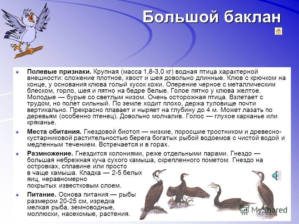 Кудрявый пеликан Полевые признаки. Крупная водная птица (масса до 13 кг). Оперение белое, верхняя часть спины светло-серая. Подклювный мешок и голая кожа «лица» желтые, ноги серые, радужина желтоватая. На голове и верхней части шеи «курчавые» перья о
