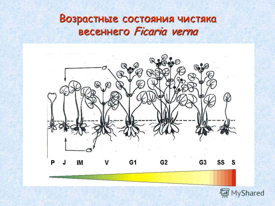 Возрастные состояния чистяка весеннего Ficaria verna