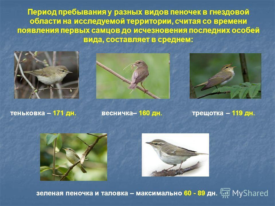 Период пребывания у разных видов пеночек в гнездовой области на исследуемой территории, считая со времени появления первых самцов до исчезновения последних особей вида, составляет в среднем: весничка– 160 дн.теньковка – 171 дн.трещотка – 119 дн. зеле