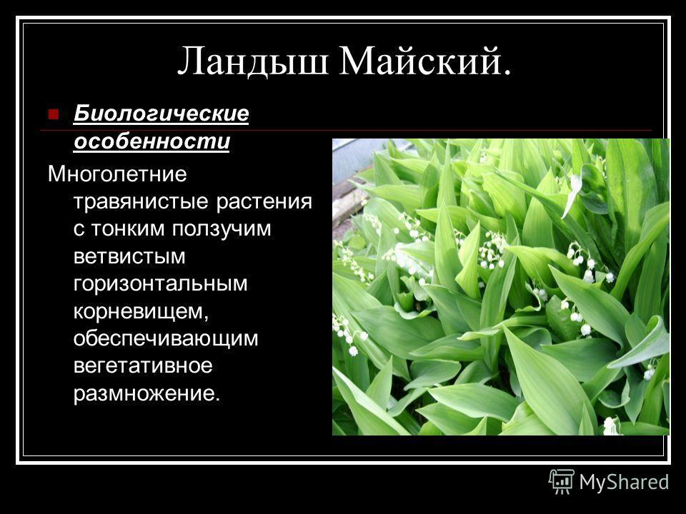 Ландыш Майский. Биологические особенности Многолетние травянистые растения с тонким ползучим ветвистым горизонтальным корневищем, обеспечивающим вегетативное размножение.
