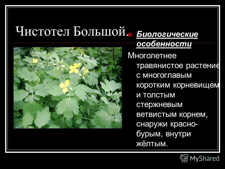 Чистотел Большой. Биологические особенности Многолетнее травянистое растение с многоглавым коротким корневищем и толстым стержневым ветвистым корнем, снаружи красно- бурым, внутри жёлтым.