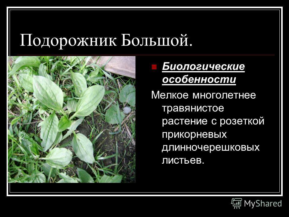 Подорожник Большой. Биологические особенности Мелкое многолетнее травянистое растение с розеткой прикорневых длинночерешковых листьев.