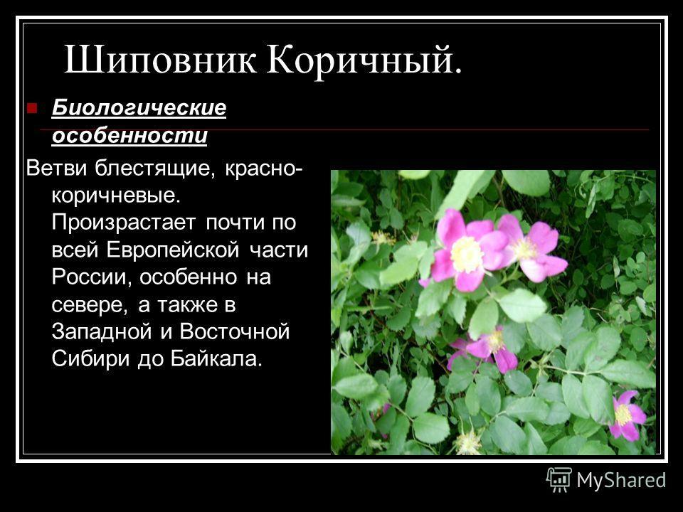Шиповник Коричный. Биологические особенности Ветви блестящие, красно- коричневые. Произрастает почти по всей Европейской части России, особенно на севере, а также в Западной и Восточной Сибири до Байкала.