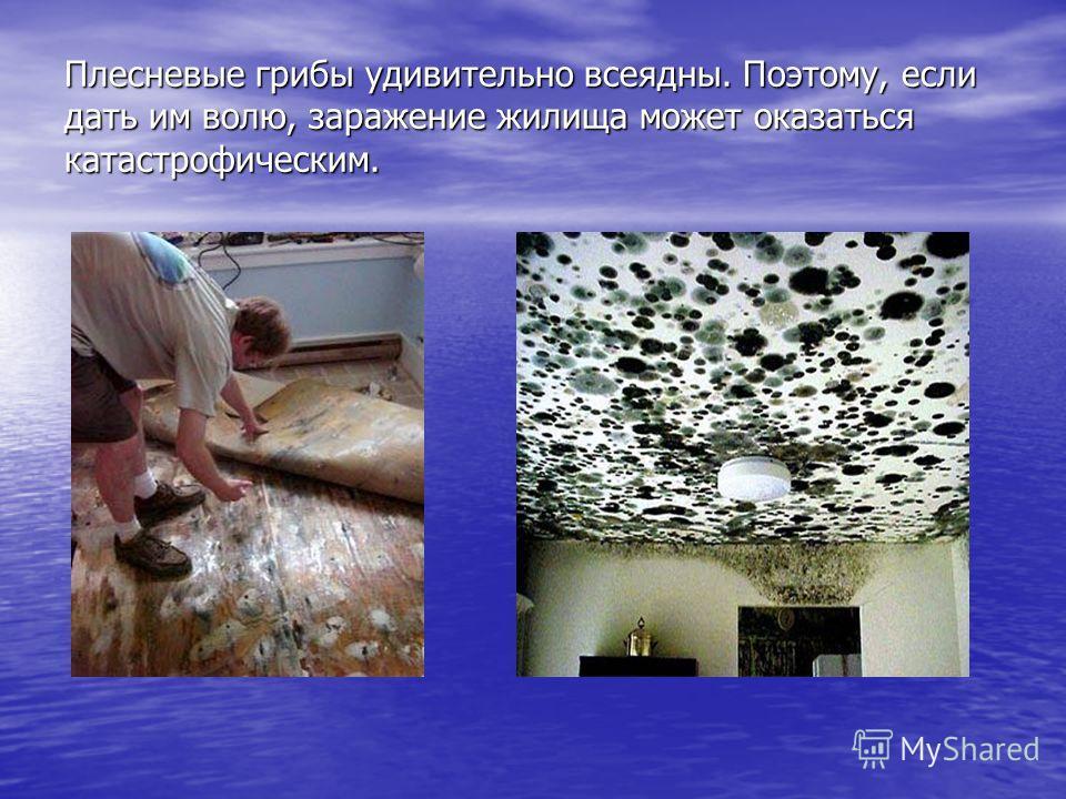 Плесневые грибы удивительно всеядны. Поэтому, если дать им волю, заражение жилища может оказаться катастрофическим.