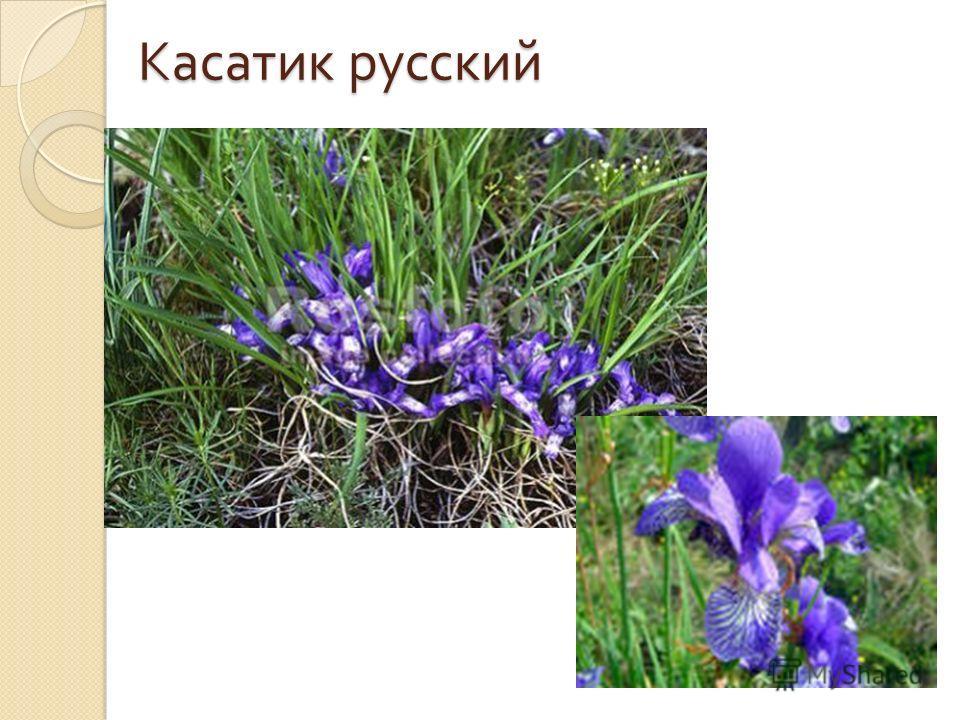 Касатик русский