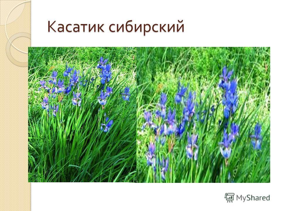 Касатик сибирский