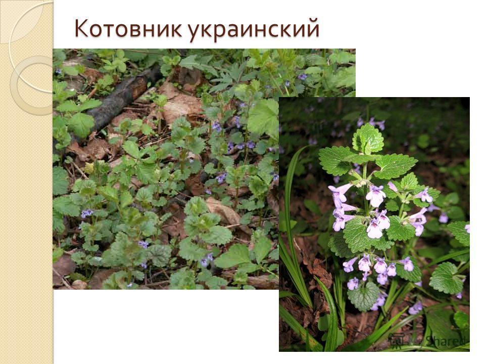 Котовник украинский