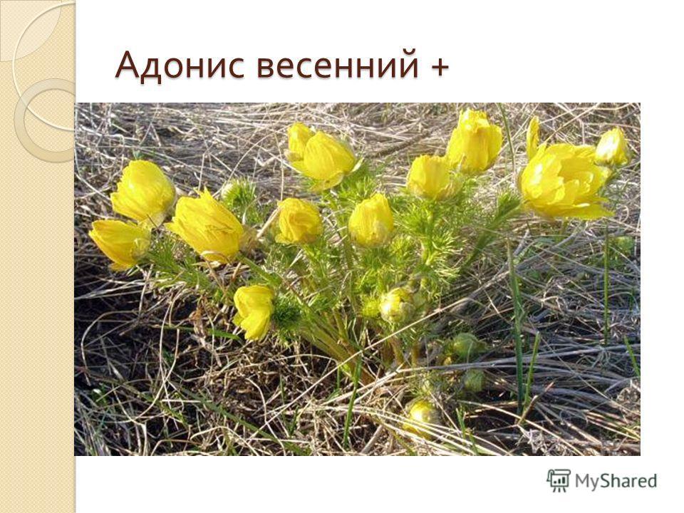 Адонис весенний +